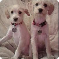 Adopt A Pet :: Coco & Lola - Santa Monica, CA