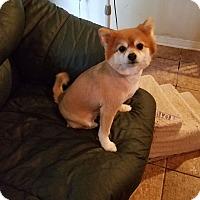 Adopt A Pet :: Seminole Charlie - conroe, TX