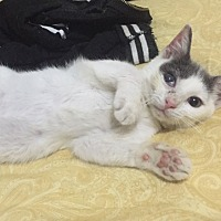 Domestic Shorthair Kitten for adoption in Brooklyn, New York - Alfvin