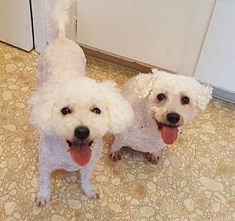 Bichon Frise Dog for adoption in Bloomington, Illinois - Lola and Shannon