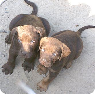 Labrador Retriever Mix Puppy for adoption in Allentown, New Jersey - Hatchi