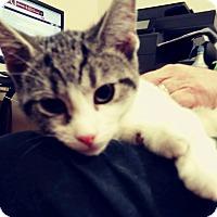 Adopt A Pet :: Basil - Trevose, PA