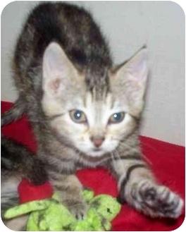 Domestic Shorthair Kitten for adoption in Cold Lake, Alberta - Faith