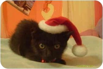 Bombay Kitten for adoption in Naples, Florida - Flake