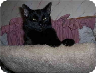 Domestic Shorthair Cat for adoption in Warren, Ohio - Uncle Yancey