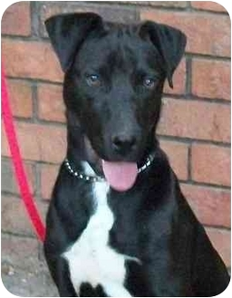 Labrador Retriever/Terrier (Unknown Type, Medium) Mix Dog for adoption in Thomasville, North Carolina - Petey