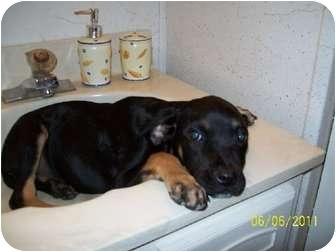 German Shepherd Dog/Labrador Retriever Mix Puppy for adoption in Bel Air, Maryland - Vince