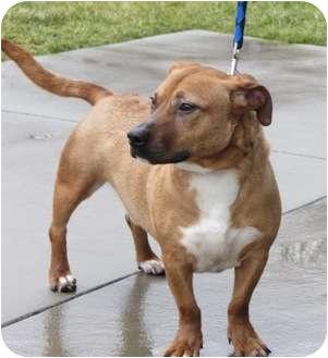 Hound (Unknown Type)/Basset Hound Mix Dog for adoption in Lincolnton, North Carolina - Gus