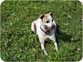 Jack Russell Terrier Mix Dog for adoption in Inverness, Florida - Sonny