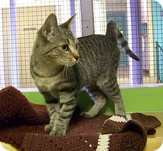 Domestic Shorthair Kitten for adoption in Dover, Ohio - Kimmie