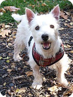 Westie, West Highland White Terrier Dog for adoption in Omaha, Nebraska - Grace-pending adoption