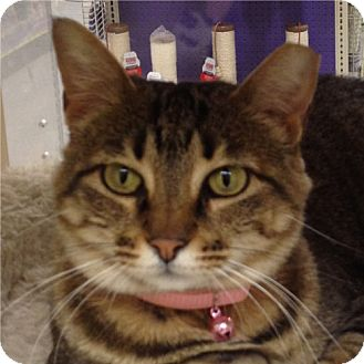 Domestic Shorthair Cat for adoption in Weatherford, Texas - Bobbie