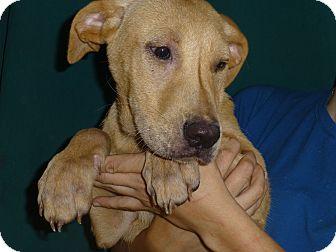 Golden Retriever/Labrador Retriever Mix Dog for adoption in Oviedo, Florida - Nala