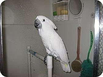 Cockatoo for adoption in Northbrook, Illinois - Baby 2