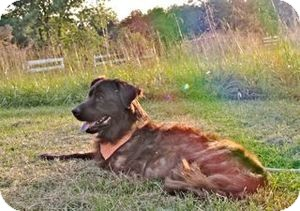 Flat-Coated Retriever Mix Dog for adoption in Rockville, Maryland - Tristan
