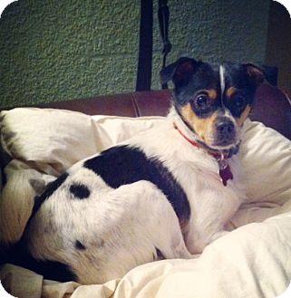Rat Terrier/Pug Mix Dog for adoption in Victoria, British Columbia - Taz