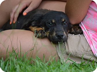 Black and Tan Coonhound/Labrador Retriever Mix Puppy for adoption in Groton, Massachusetts - Carl