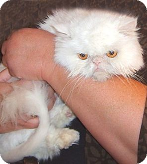 Persian Cat for adoption in Gilbert, Arizona - Lulu