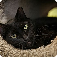 Adopt A Pet :: Yancy - Byron Center, MI