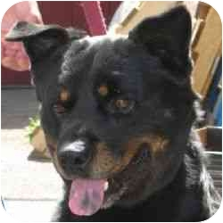 Rottweiler/Chow Chow Mix Dog for adoption in Berkeley, California - Garret
