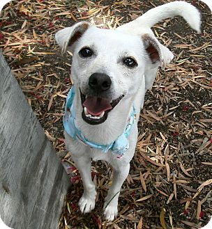 Jack Russell Terrier/Chihuahua Mix Dog for adoption in El Cajon, California - Elmer