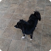 Adopt A Pet :: Susie - Simi Valley, CA