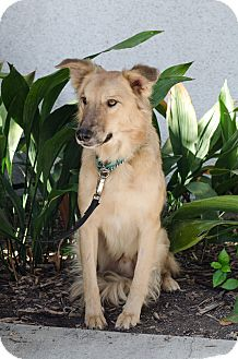 Shepherd (Unknown Type)/Golden Retriever Mix Dog for adoption in Encino, California - Charlie