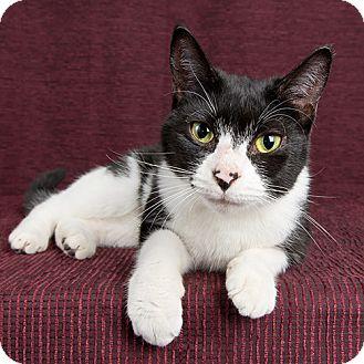 Domestic Shorthair Cat for adoption in Wilmington, Delaware - Peri