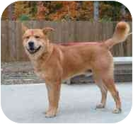 Akita Mix Dog for adoption in Gloucester, Virginia - Mikie