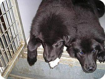 Newfoundland Mix Puppy for adoption in Olympia, Washington - 44710, 44711