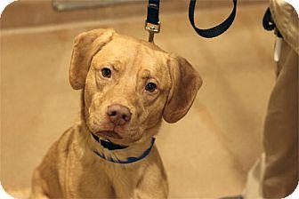 Labrador Retriever Mix Dog for adoption in Chicago, Illinois - Clint