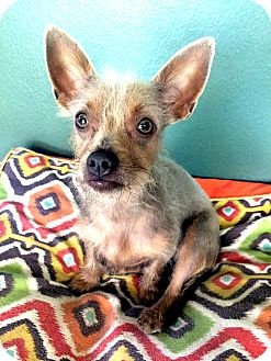 Chinese Crested/Terrier (Unknown Type, Small) Mix Dog for adoption in Tijeras, New Mexico - Tara