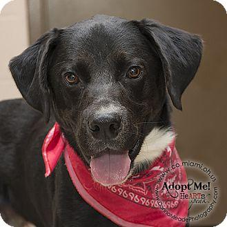 Labrador Retriever Mix Dog for adoption in Troy, Ohio - Kyle