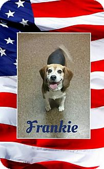 Beagle Mix Dog for adoption in Albion, New York - Frankie