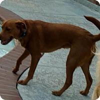 Adopt A Pet :: Sissy - Houston, TX