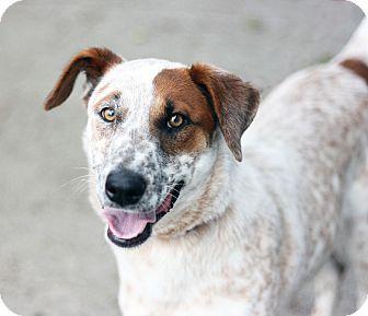 Australian Cattle Dog Mix Dog for adoption in Canoga Park, California - Lady