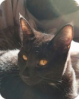 Hemingway/Polydactyl Cat for adoption in Middletown, Ohio - Julio