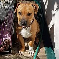 Adopt A Pet :: Buddy Bear - Los Banos, CA