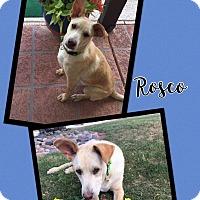 Adopt A Pet :: Rosco - Scottsdale, AZ