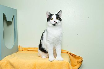 Hemingway/Polydactyl Cat for adoption in Chicago, Illinois - Lucky