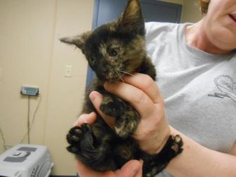 Domestic Shorthair/Domestic Shorthair Mix Cat for adoption in Quincy, Illinois - Garnet