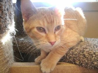 Domestic Shorthair/Domestic Shorthair Mix Cat for adoption in Waupun, Wisconsin - Rex