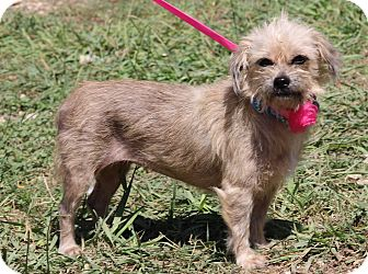 Norwich Terrier/Yorkie, Yorkshire Terrier Mix Dog for adoption in Olympia, Washington - Katie