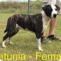 Adopt A Pet :: Petunia - Waycross, GA