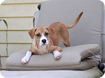 Boxer Mix Puppy for adoption in Wellesley, Massachusetts - Stella