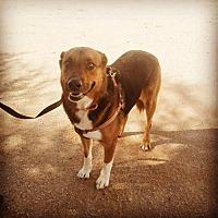 Australian Shepherd Mix Dog for adoption in Phoenix, Arizona - rottie