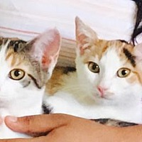 Adopt A Pet :: Kali & Kendra! Gorgeous Sweet Calico Kittens! - Brooklyn, NY