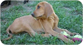 Bloodhound Puppy for adoption in Lawrenceville, Georgia - Drover
