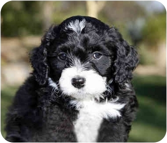 Bichon Frise/Cocker Spaniel Mix Puppy for adoption in La Costa, California - Coach