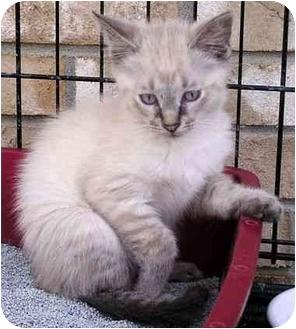Siamese Kitten for adoption in Troy, Michigan - Cristina